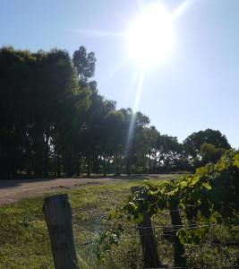 vineyard_sm